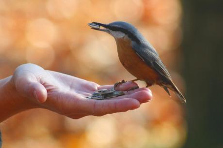 Sitta_europaea_wildlife_3